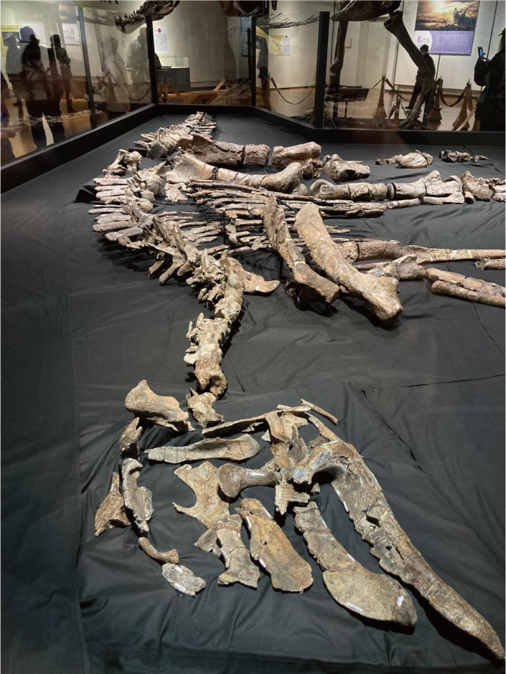 カムイサウルスの全身骨格化石